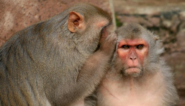 monkeys telling secrets