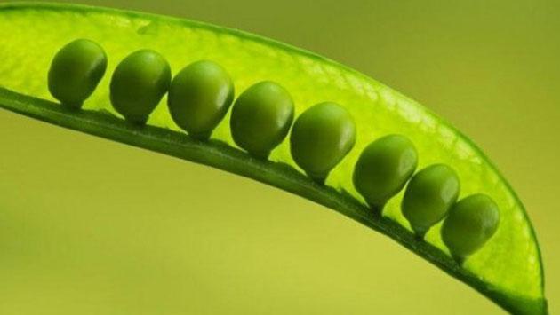 spring_peas