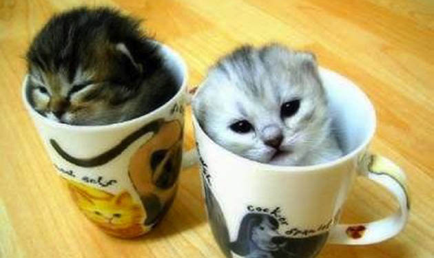 cup kitties