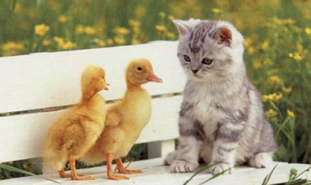 friendly kitty ducks