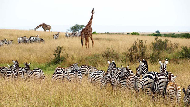 Zebras and giraffes on reserve