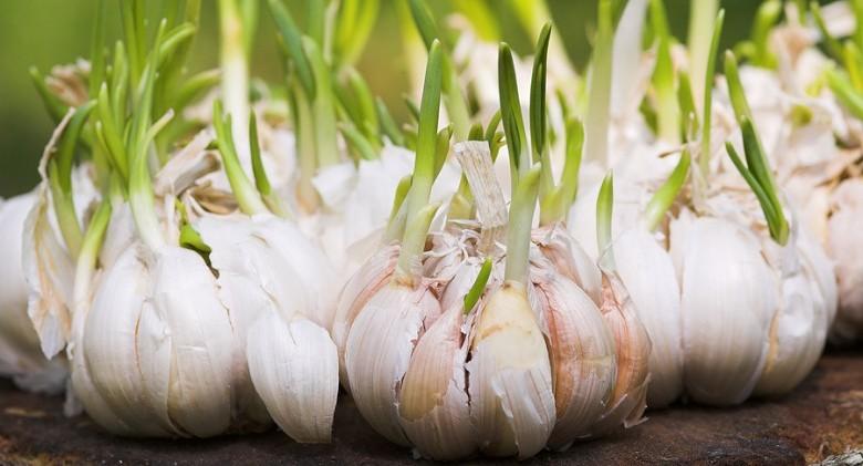 Garlic-sprouts